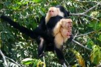 monkey palo verde guanacaste